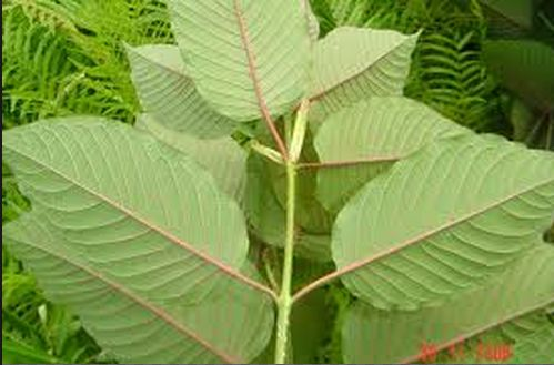 If you have been long suffering from anxiety, pains etc, read this article to know more about the intense, healing effects of the Red Vein Thai Kratom.