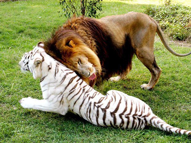 Resultado de imagem para leão com tigre albina