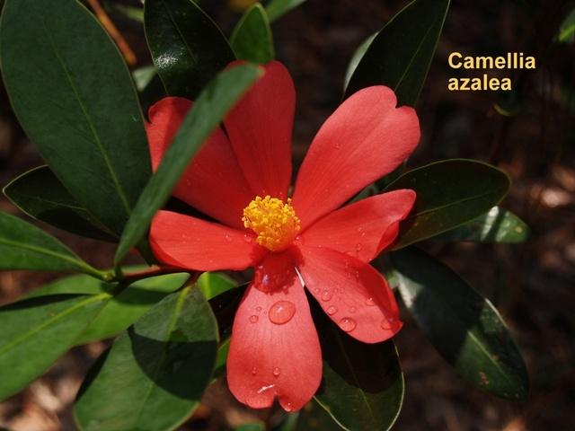 Summer Blooming Camellia azalea