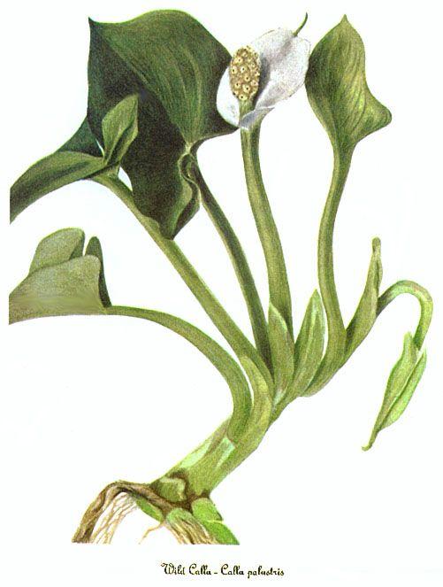 Calla palustris; Araceae