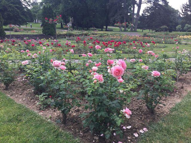 Geneven La Grangen puiston ruusutarha on upea näky ja vielä ehtii nähdä kauniit ruusut kukassa. Puisto on kiva käyntikohde ympärivuoden.