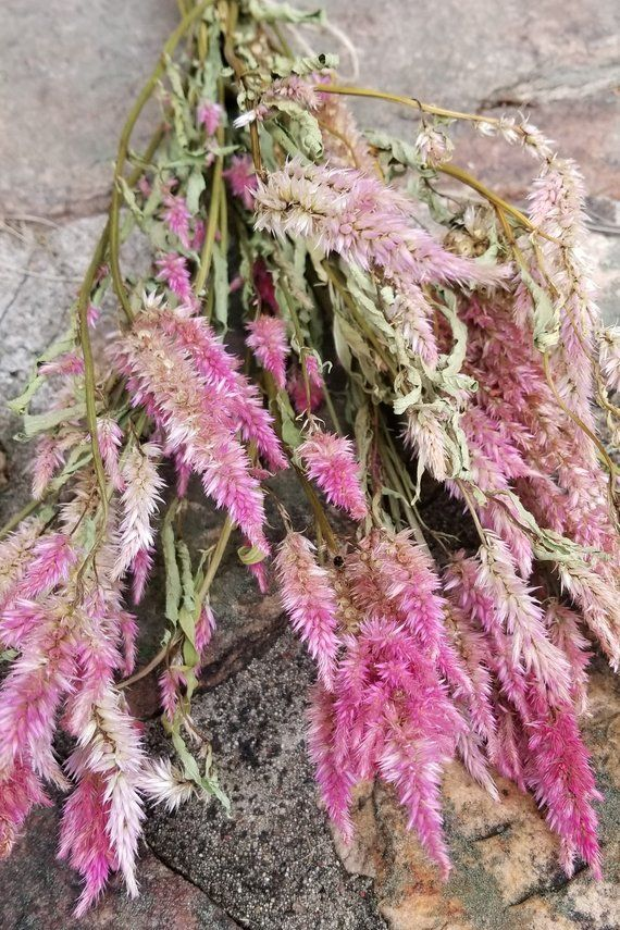 Dried Plume Celosia 12 16 Celosia Dried Flowers Pink Etsy Dried Flowers Pink Flowers Flowers