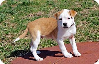 Hagerstown, MD - American Bulldog Mix. Meet PUPPY BARRET, a puppy for adoption. http://www.adoptapet.com/pet/17760429-hagerstown-maryland-american-bulldog-mix