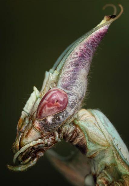 A giant devil's flower mantis