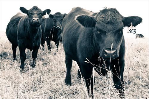 Cows <3: Bullz, Smile, Cows