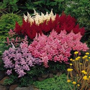 "Perennial Astilbe is a great shade plant with rich, dense foliage and feathery, summer blooms for your shade garden. Also known as False Spirea and False Goat's Beard, Astilbe is native to Asia and North America. Astilbe plumes bloom in June-July. Colors include include pink, red, white, purple and peach. Plants grow 18"" to as much as 5 feet. There is a dwarf variety that grows about 6""."