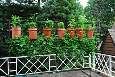 Tomaten kopfüber und oben Kräuter, eine gute Kombination.