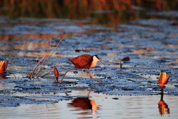 Winter birding in the Delta is primarily about the water fowl. The African jacana uses the winter to nest. They capitalise on the high water levels to help protect their brood, nestling on carefully laid floating grasses. Jacana males are known for their paternal contribution, perching themselves on the eggs until they're due to hatch. It's not easy for these caretakers however – the eggs are still prone to dive-bombing birds of prey, water monitors and mounting hippo wakes.