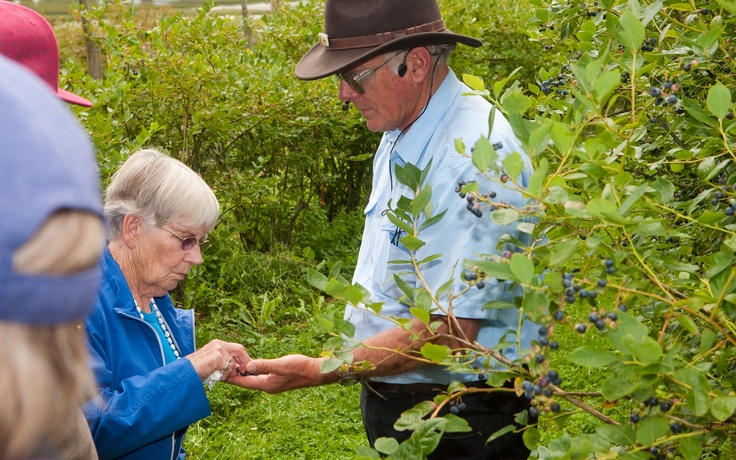 Taste the blueberries straight off the tree - Mamaku Blue Blueberry Experience - www.mamakublue.co.nz