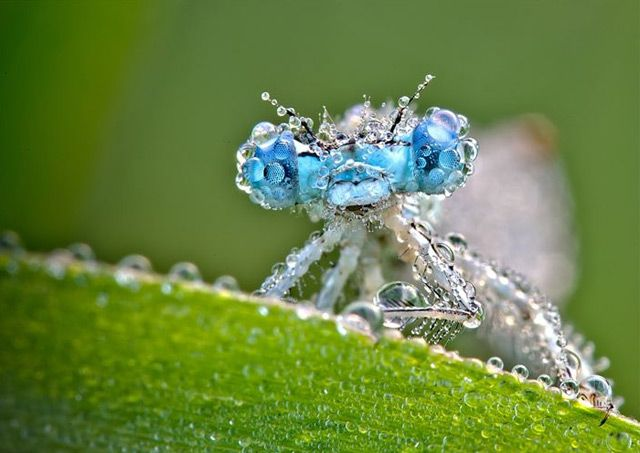 Macro photography of dew covered insects by David Chambon