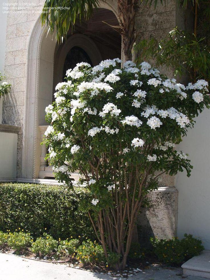 Plumeria pudica, near garage and behind spa