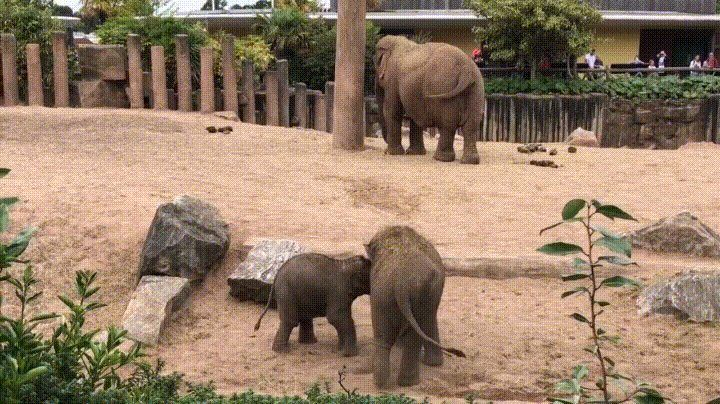 A baby elephant play fighting with its older sibling at Chester Zoo http://ift.tt/2rMZiN4