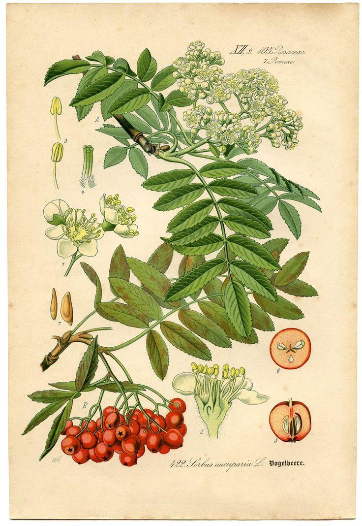 *The Graphics Fairy LLC* : rowanÖsterreich Und, Botanical Illustration, Red Berries, Botanical Prints, Rowan Trees, Sorbus Aucuparia, Mountain Ash, Of Switzerland, Von Deutschland