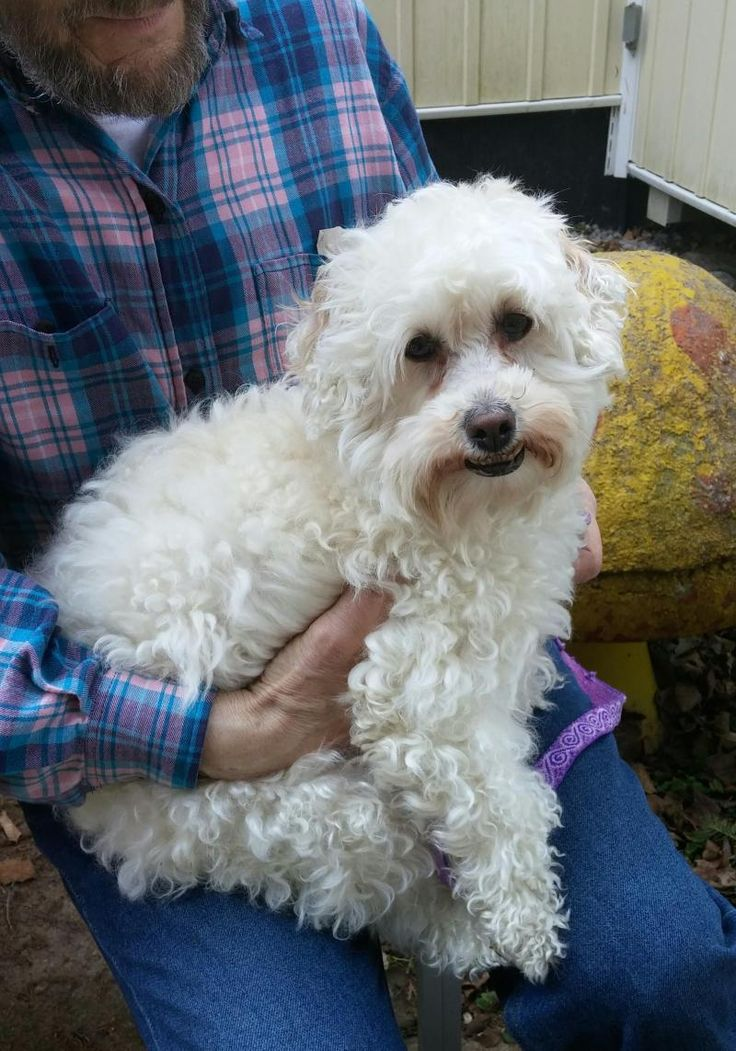 Bo Peep is an adoptable Poodle searching for a forever family near Toronto, ON. Use Petfinder to find adoptable pets in your area.
