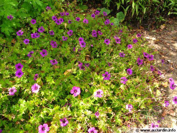 Géranium vivace psilostemon, Geranium psilostemon