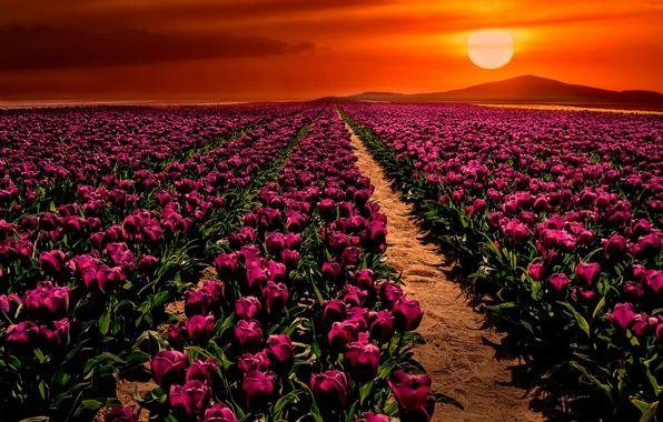 Cumra, Konya, Turkey, tulip fields at sunset