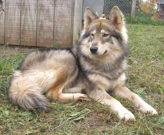 I wish I owned this wolf dog. Buetiful...