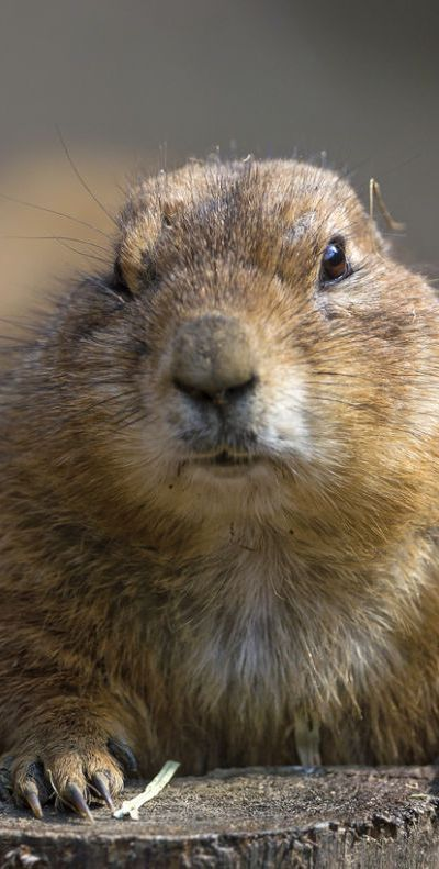 Prairie dog   ...........click here to find out more  http://googydog.com