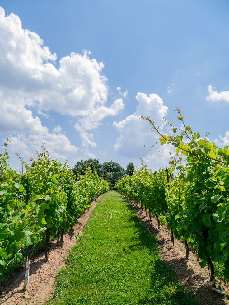 Beautiful vineyard photograph with stunning blue sky and clouds. #JoshBellinghamPhotography
