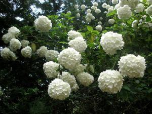 VIBURNUM OPULUS ROSEUM (ΒΙΒΟΥΡΝΟ ΧΙΟΝΟΣΦΑΙΡΑ)