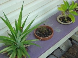 How to grow pineapple plants from the tops of pineapples.