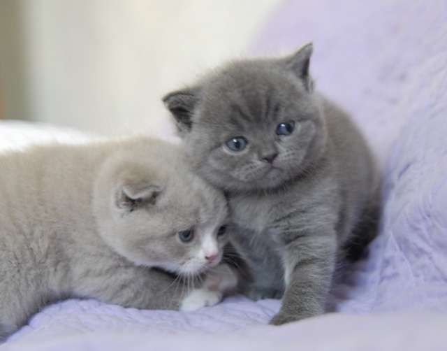 Chartreux Kittens.