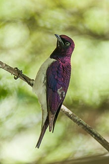 Violet-backed Starling, spotted at Bonamanzi Game Reserve