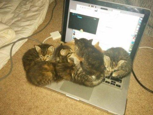 kitten,cute,warmth,laptop