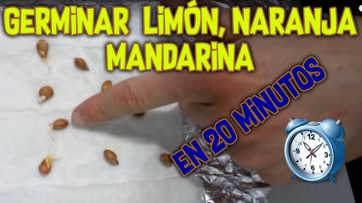Cómo germinar limones, naranjas y mandarinas