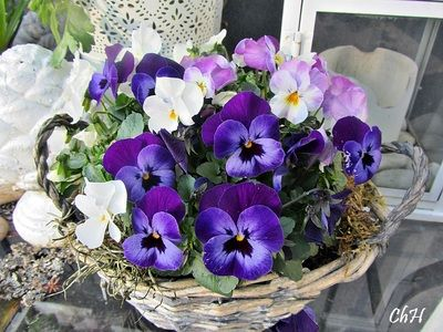 Elegant Viola cornuta Wohnen und Garten Foto