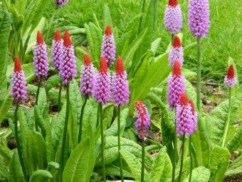 Primula vialii (Orchideeprimula, Kaboutermuts, Sleutelbloem) - p9