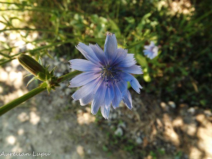Chicory by Aurelian Lupu on 500px