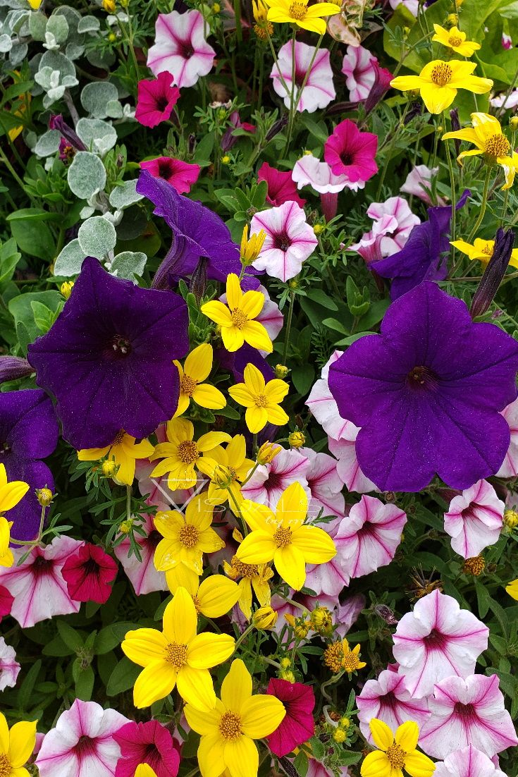 Summer Flowers Photography Digital Download Purple Flowers Instant Download Yellow Flower Wall Art Floral Wall Decor Petunia Flowers Flowers Photography Flowers Flower Wall Art