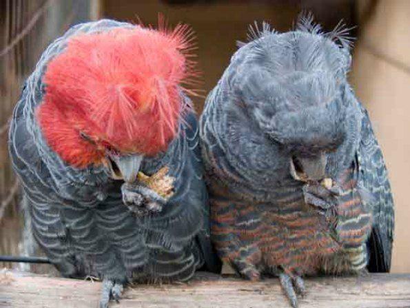 male and female gang gang cockatoo
