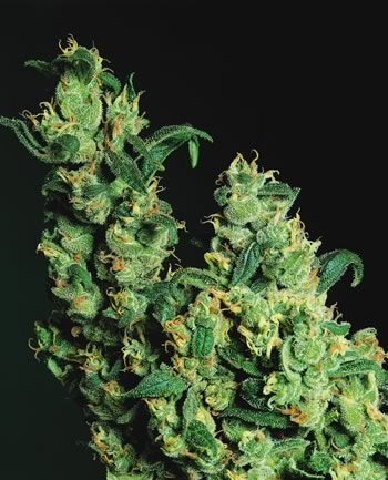 Jack Herer – Sensi Seed Bank         1st Place, HIGH TIMES Cannabis Cup Sativa, 1999