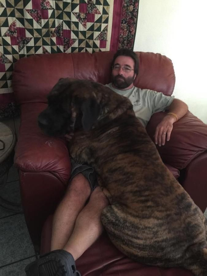 Akc Mastiff Pups in - Hoobly Classifieds