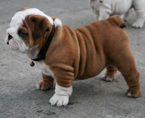 Be still my heart...: Bulldogs Puppies, Little Puppies, Cute Bulldogs, Baby 3, English Bulldogs, My Heart, Baby Bulldogs, Baby Sisters, Baby Puppies