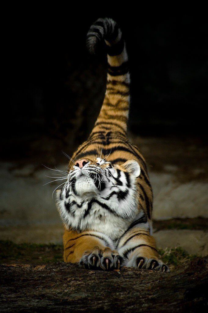 Aww #Tiger #Cute