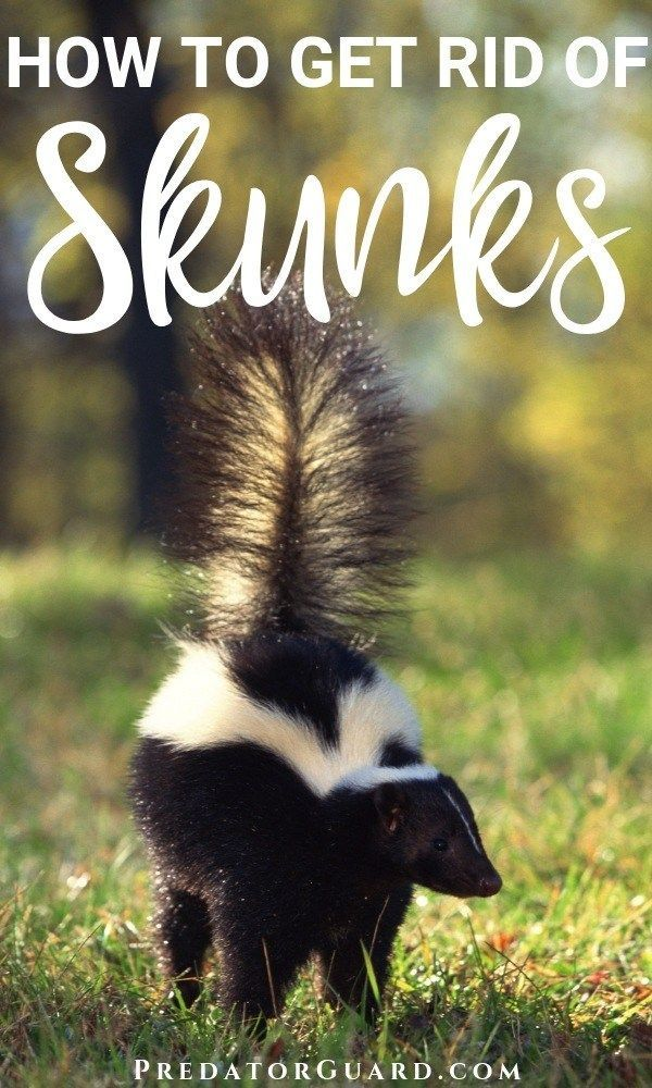 How To Get Rid Of Skunks Natural Non Lethal Methods Predator Guard Predator Deterrents And Repellents Getting Rid Of Skunks Skunk Repellent Baby Skunks