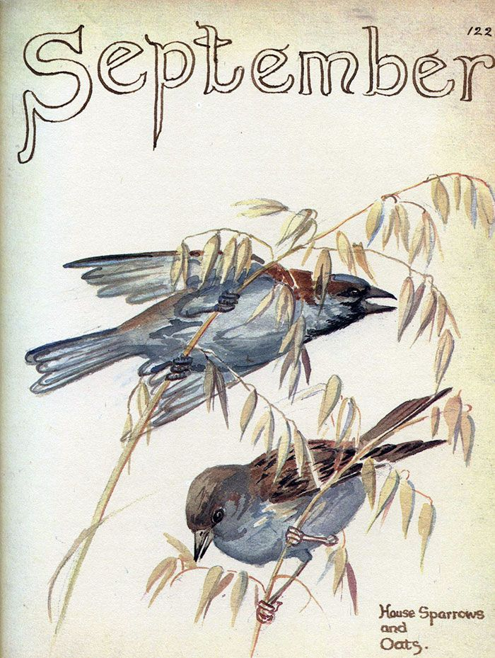 House sparrows on oats, September 1906 ~ Edith Holden