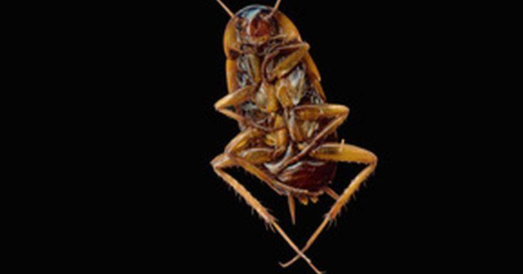 Como Acabar Con La Plaga De Cucarachas Chiquitas Como Mantener A Las Cucarachas Alejadas De Los Gabinetes De Manera