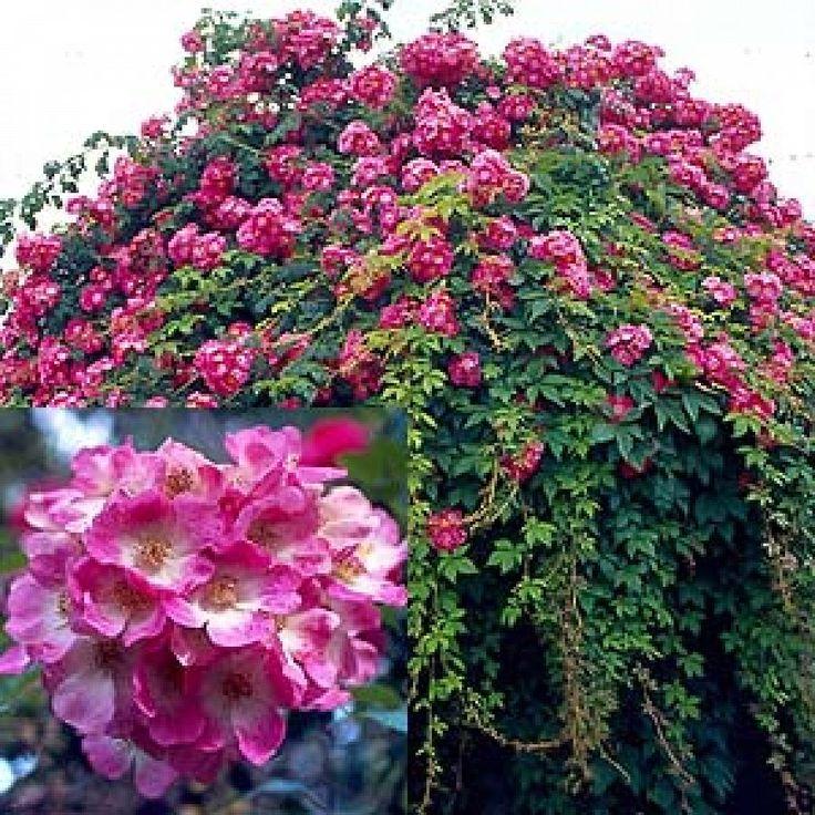 rosier liane sans pine ou presque american pillar rosiers lianes rambling roses pinterest. Black Bedroom Furniture Sets. Home Design Ideas