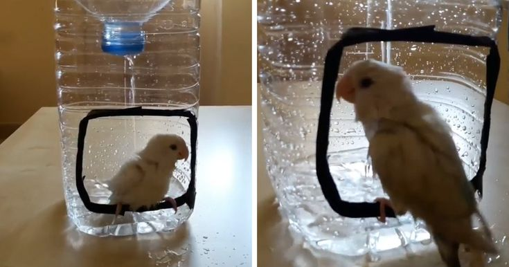 Hygiene is important, and you don't need a ridiculous expensive shower to stay clean. However, if you want to bathe your lovebird, you'll definitely need some creativity building it a shower.