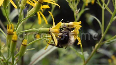 Bumble Bee on yellow flower in forest