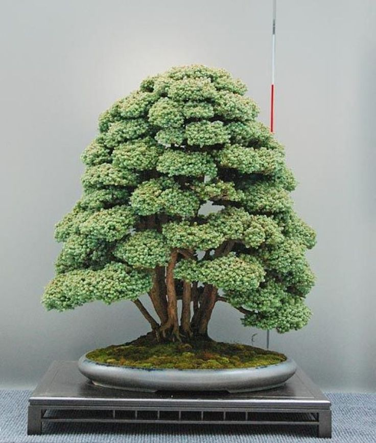 236 best images about table top gardens on pinterest for Famous bonsai trees