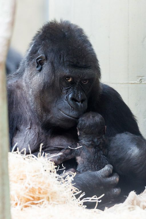 gorillas with babies | Zoo Basel's Gorilla Troop Welcomes New Baby - Neatorama