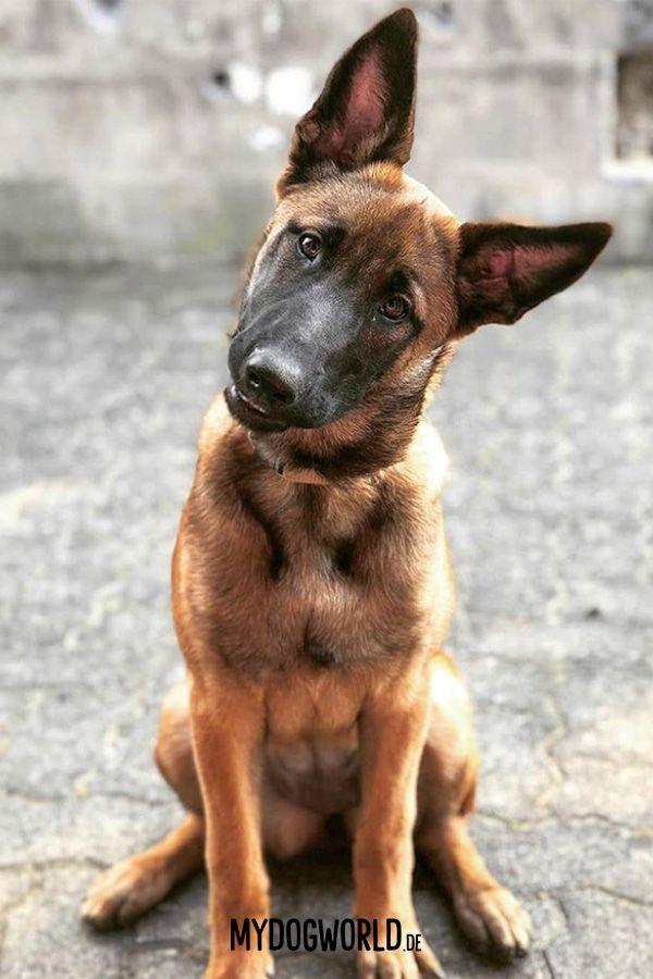 Cute Puppy Malinois Puppy Belgischer Schaferhund Susse Welpen