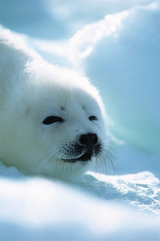The 25+ best Baby harp seal ideas on Pinterest | Cute ...