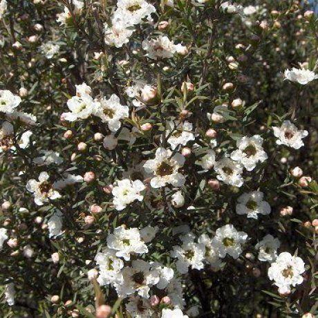 Leptospermum scoparium - Manuka | Southern Woods