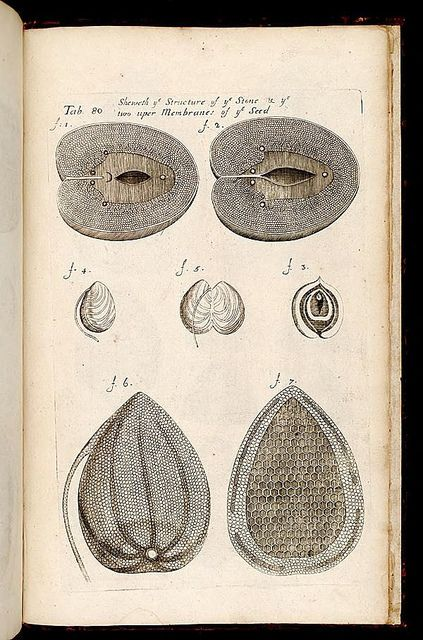 dendroica: Seed structureby BioDivLibrary on...